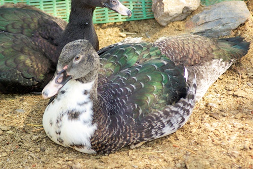 5 Reasons Muscovy Ducks May Not be a Good Choice
