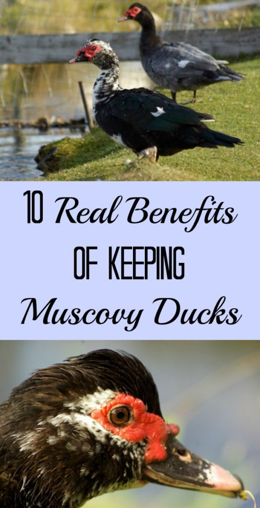 10 Real Benefits of Keeping Muscovy Ducks - Growing Wild Roots